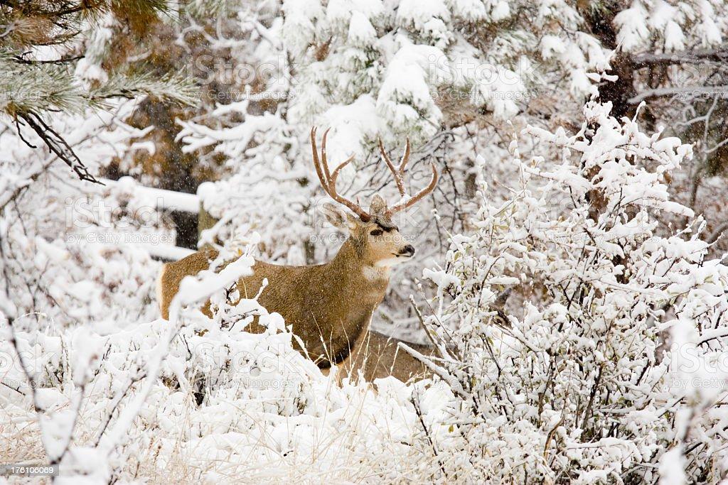 Huge Buck Mule Deer in Snow stock photo