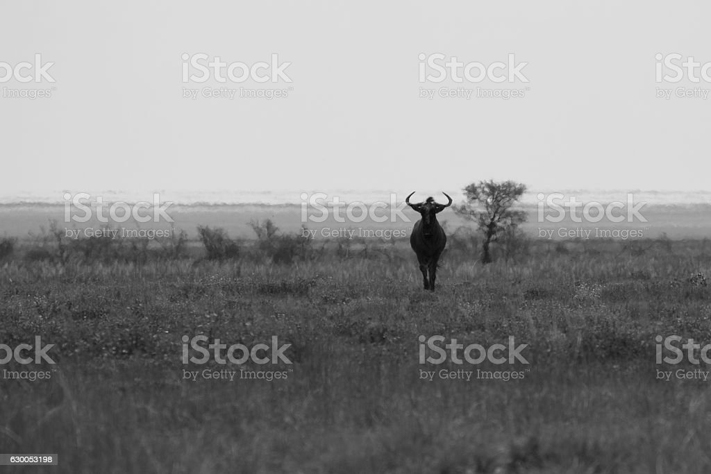 huge buffalo running to a meeting with the danger stock photo