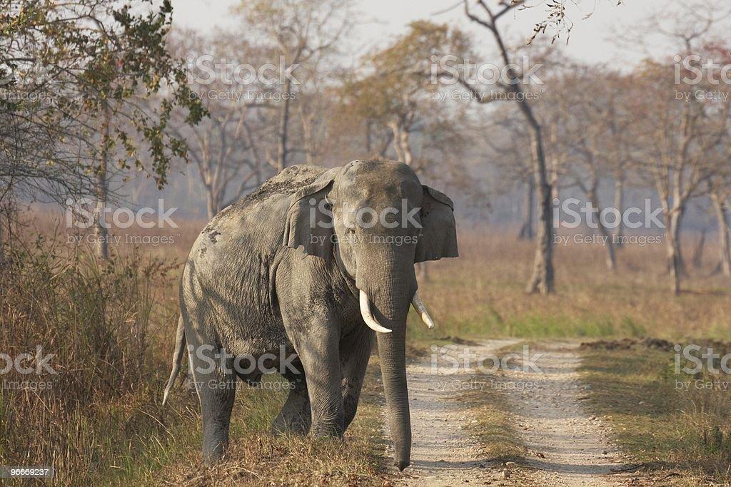 Huge Bull Asian Elephant stock photo