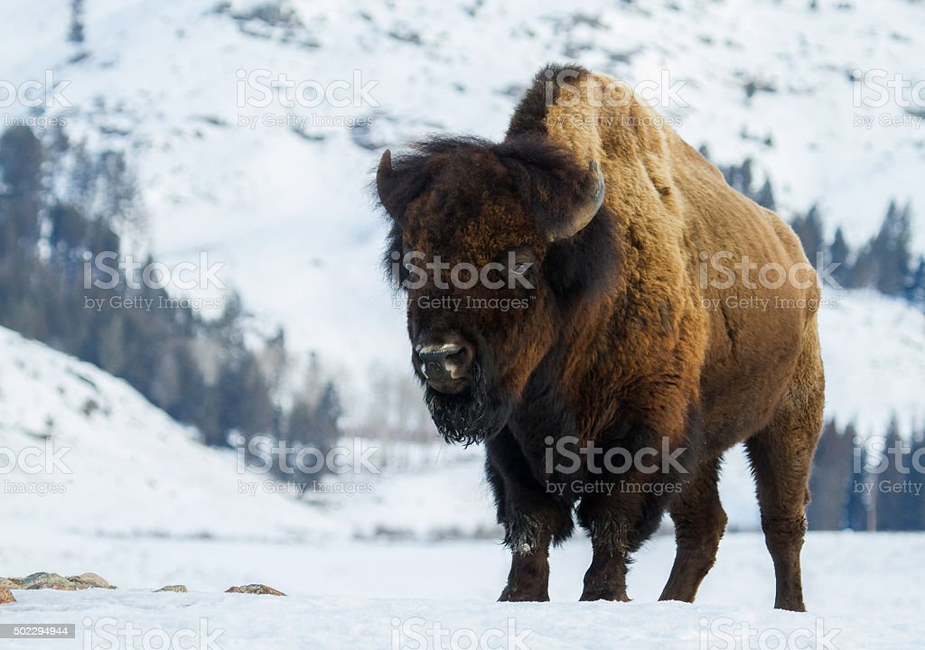 huge bull bison in the yellowstone winter stock photo