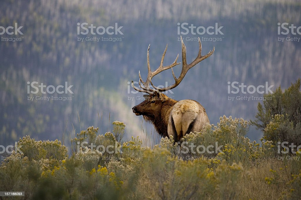 Huge Bull Elk in a Scenic Backdrop stock photo