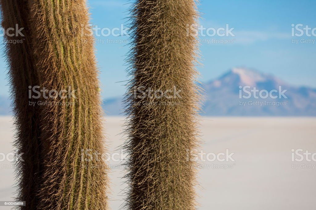Huge cactus and the Salar of Uyuni with blue sky stock photo