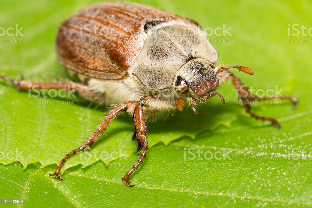 huge chafer climbed on green leaves stock photo