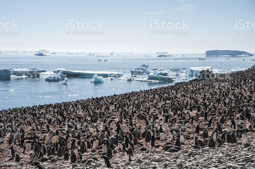 Huge colony of Gentoo penguins royalty-free stock photo