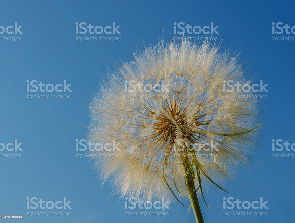 huge dandelion royalty-free stock photo
