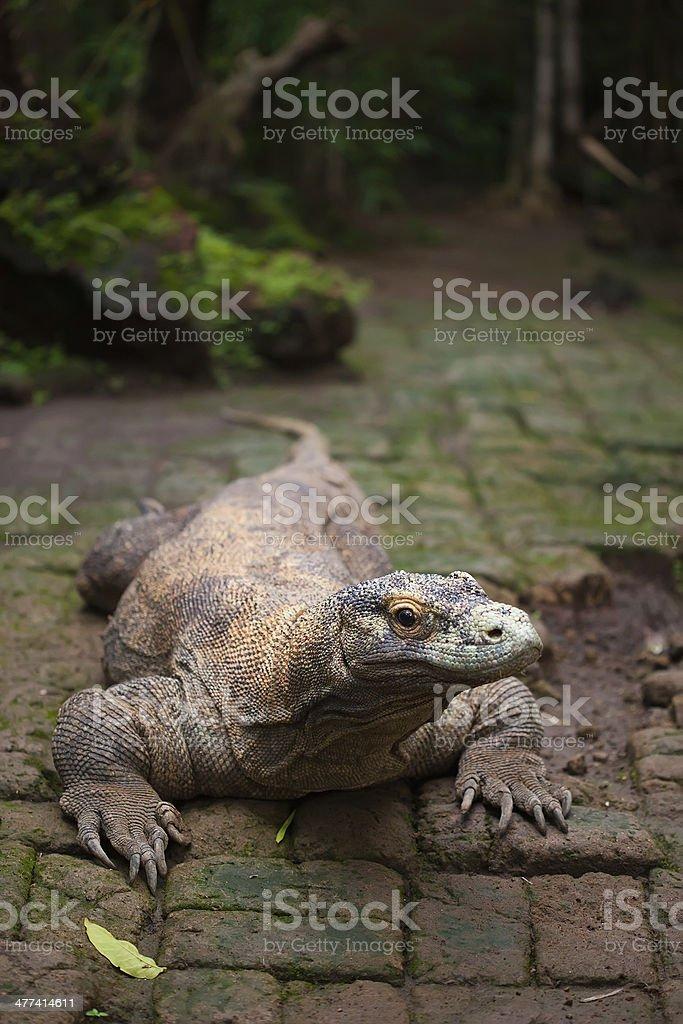 Huge dragon of Komodo royalty-free stock photo