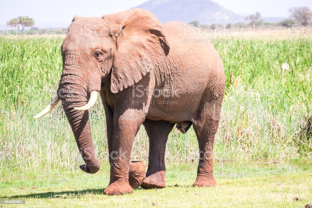Huge elephant over Jipe Lake, Kenya stock photo