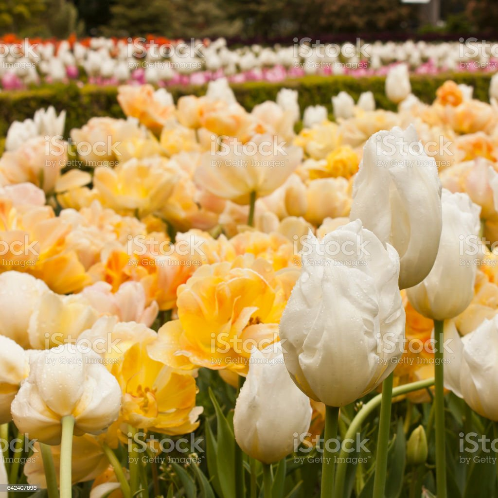Huge Field Of White And Yellow Tulips With Raindrops Stock Photo