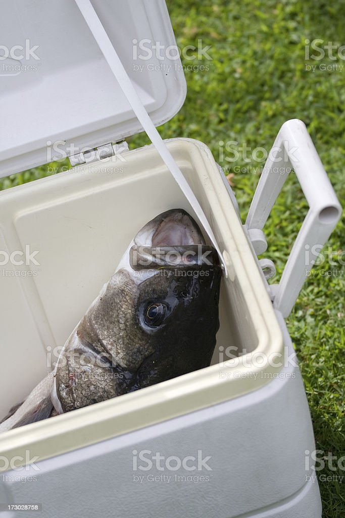 Huge fresh Bass stock photo