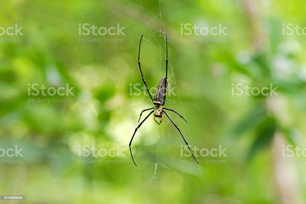 Huge Golden Silk Orb weaver spider hanging from its web stock photo
