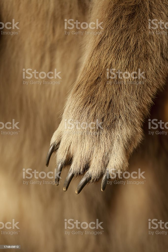 Huge Grizzly Bear Claw stock photo