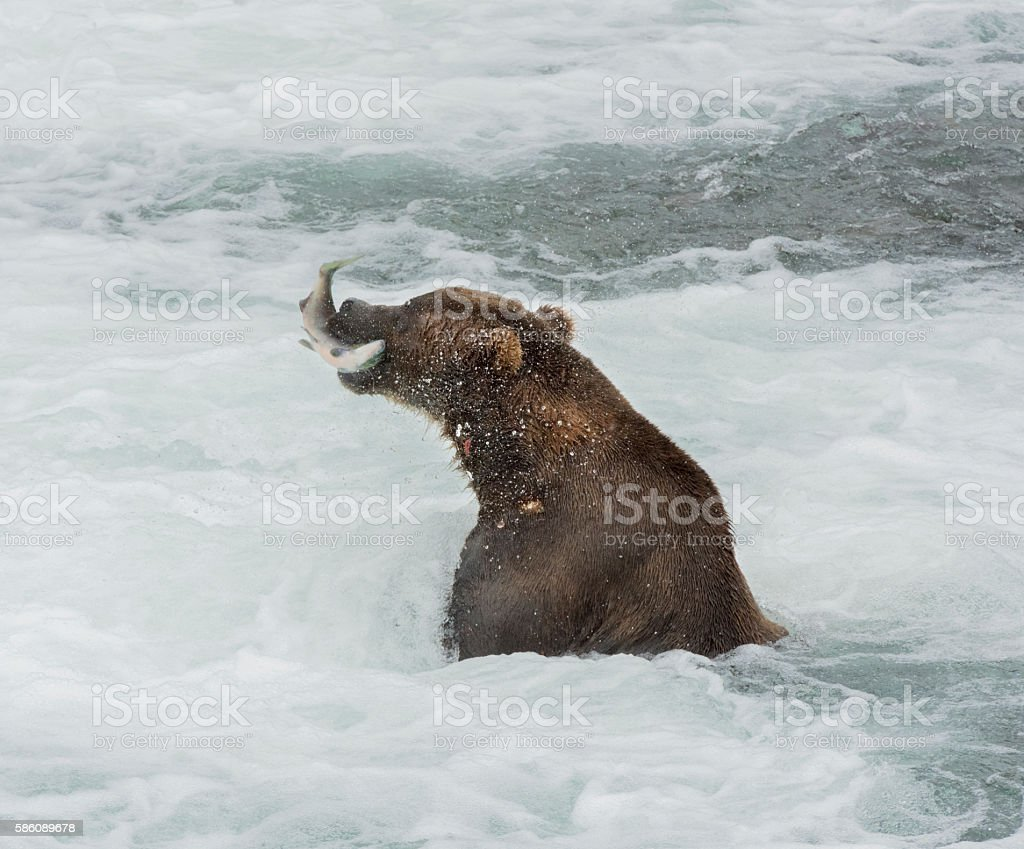 Huge Grizzly or Brown bear in the brooks falls water stock photo