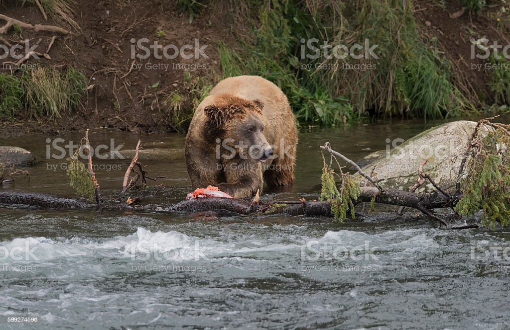 Huge Grizzly or brown bear in the river stock photo