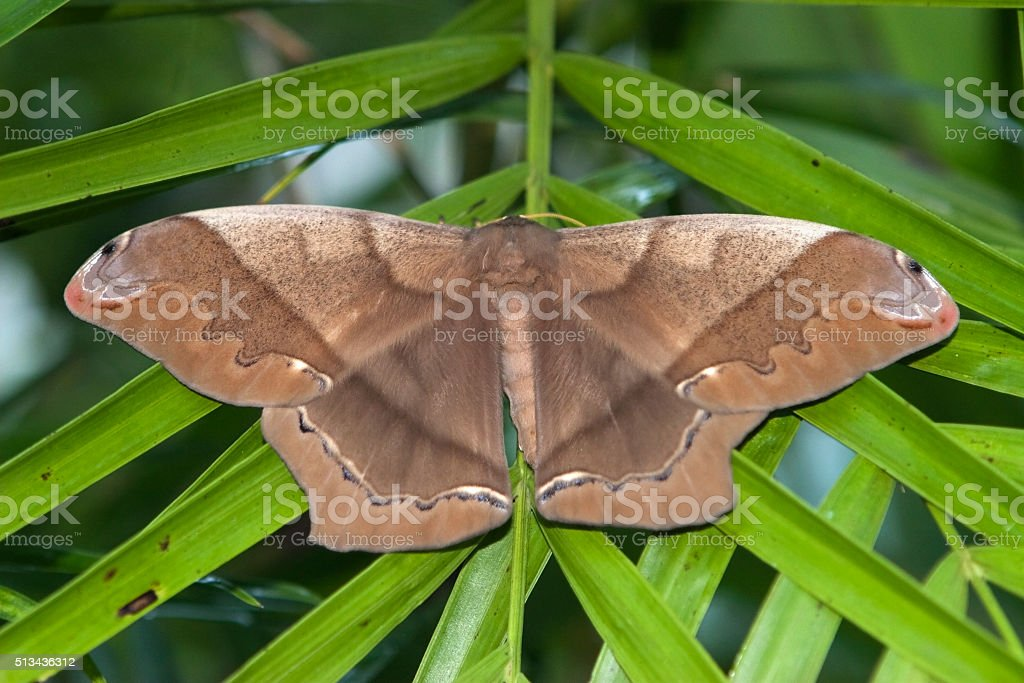 Huge hand sized moth Guatemala's Maya Biosphere Reserve stock photo