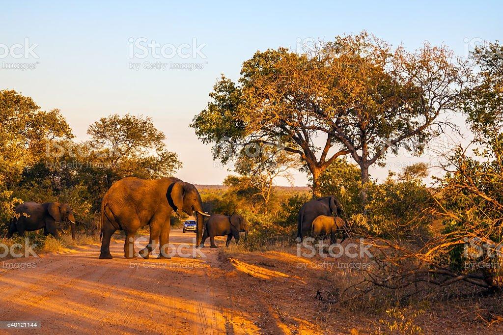 Huge herd of elephants stock photo