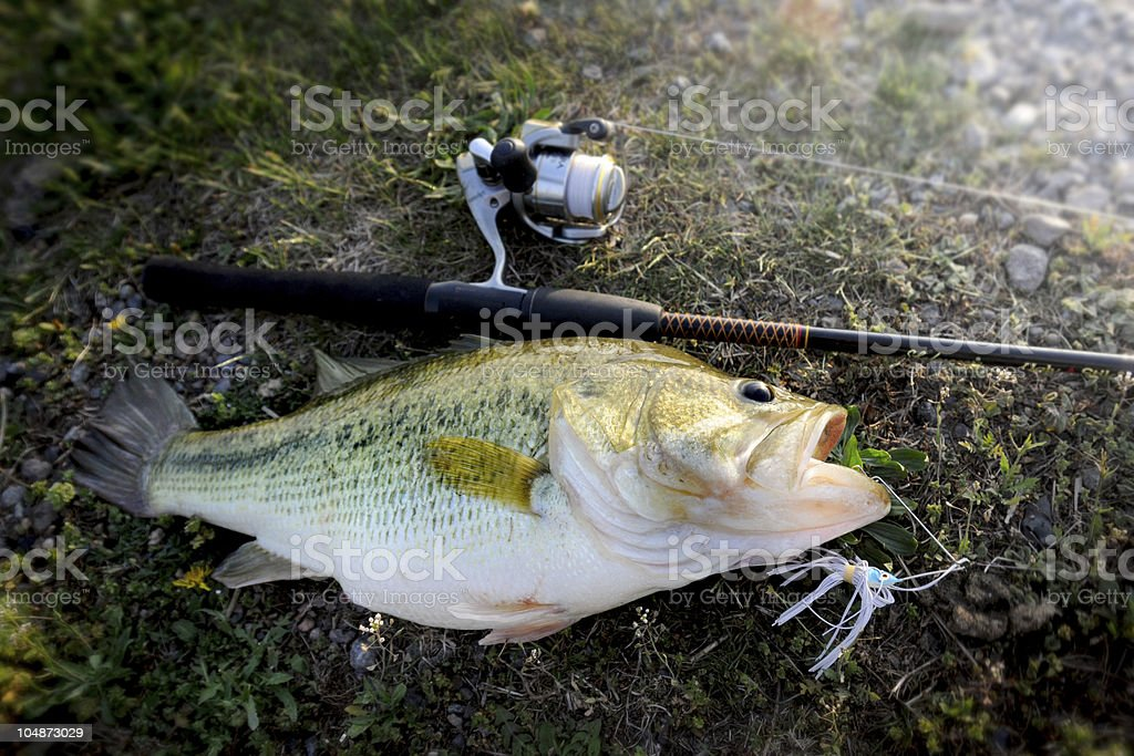 Huge largemouth bass with lure in it's mouth stock photo