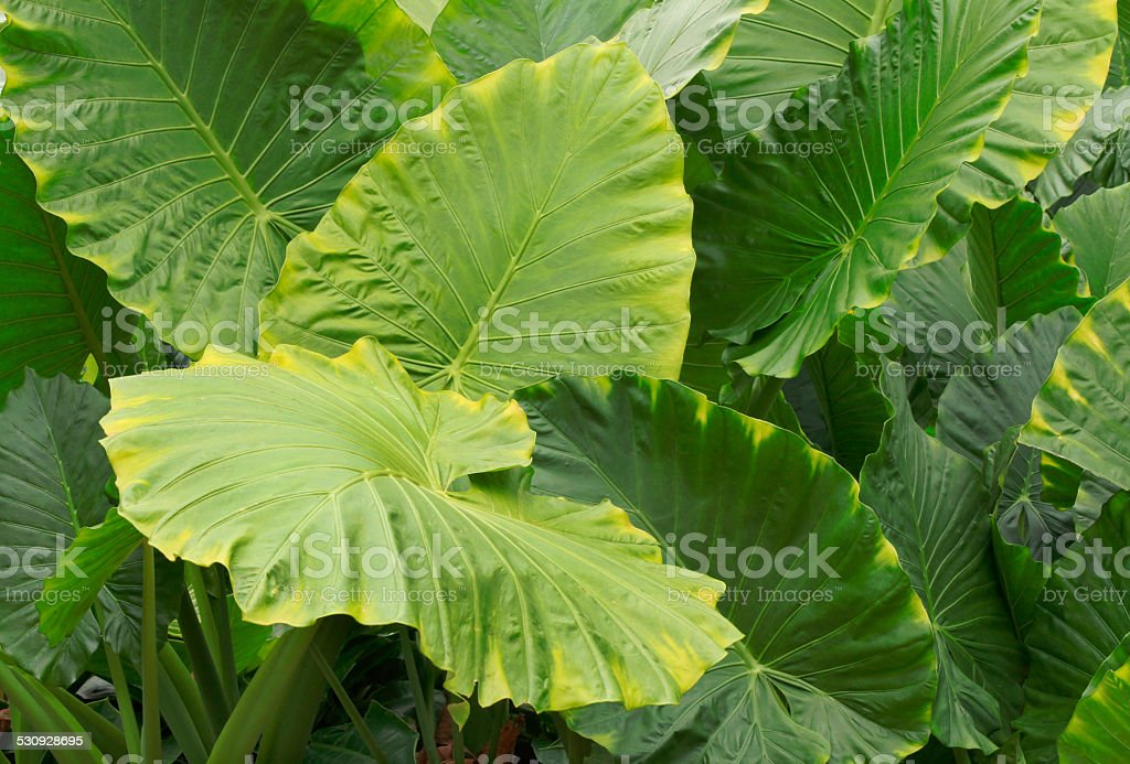 Huge Leaves of Tropical Rainforest Plant stock photo