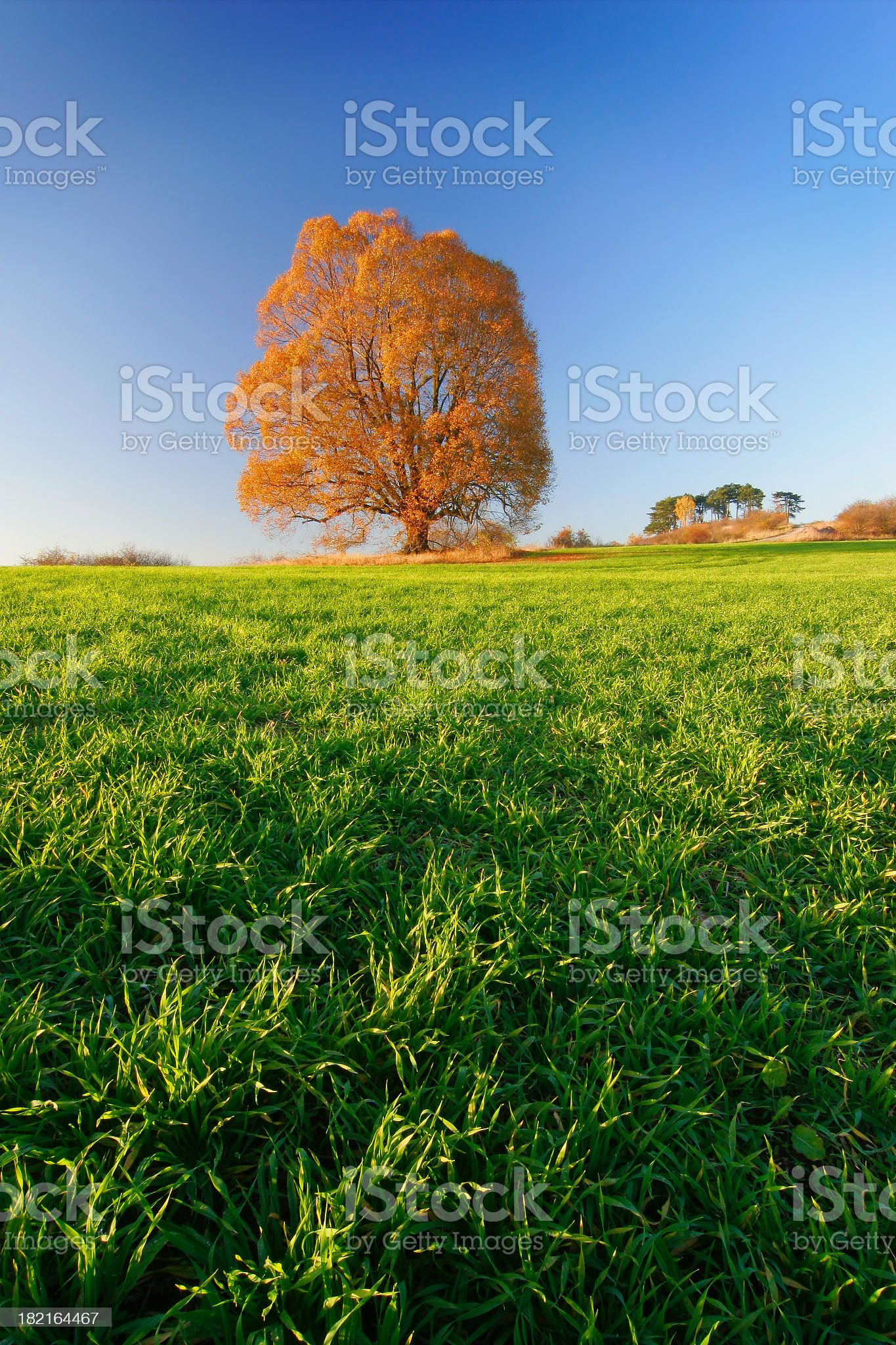 Huge Lime Tree in Autumn III royalty-free stock photo