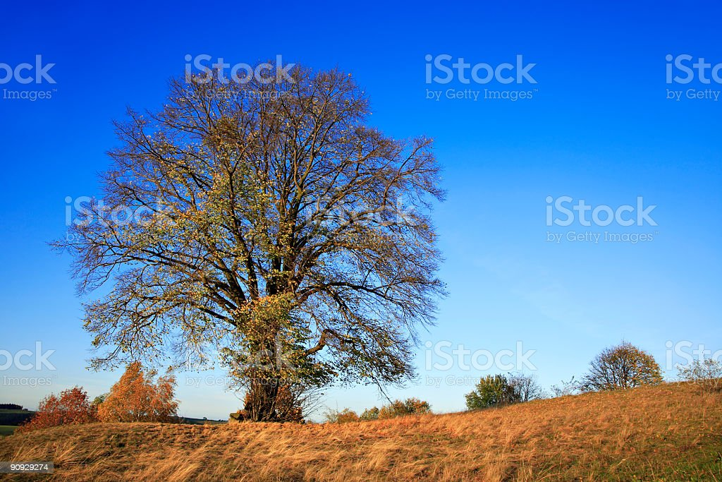 Huge Lime Tree in Autumn stock photo
