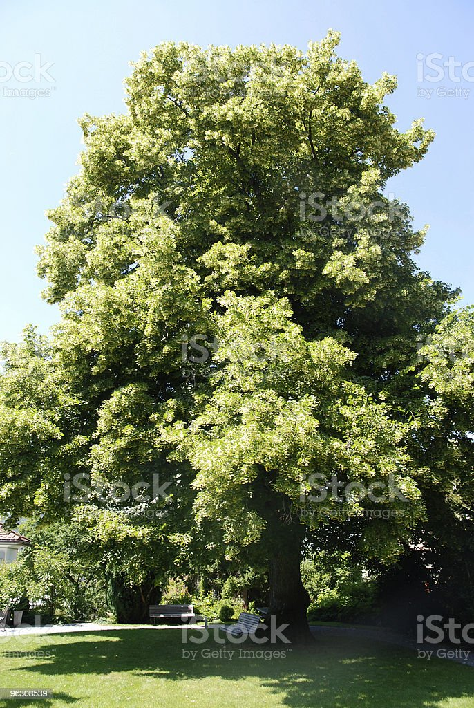 huge lime tree in blossom stock photo
