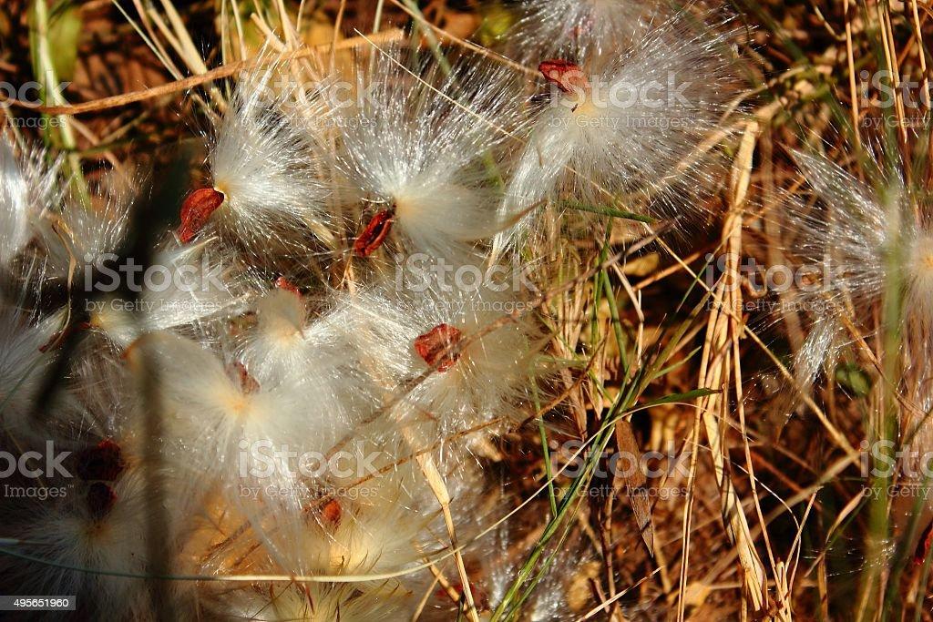 Huge Milkweed Spores Caught in Brown Weeds stock photo
