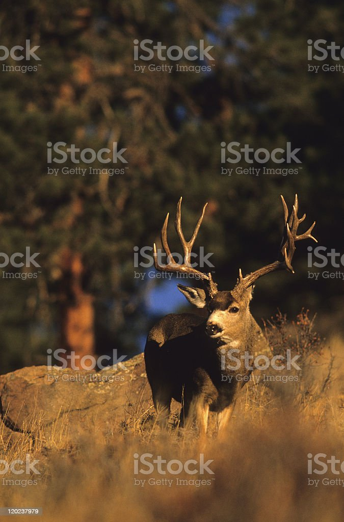 Huge Mule Deer Buck stock photo