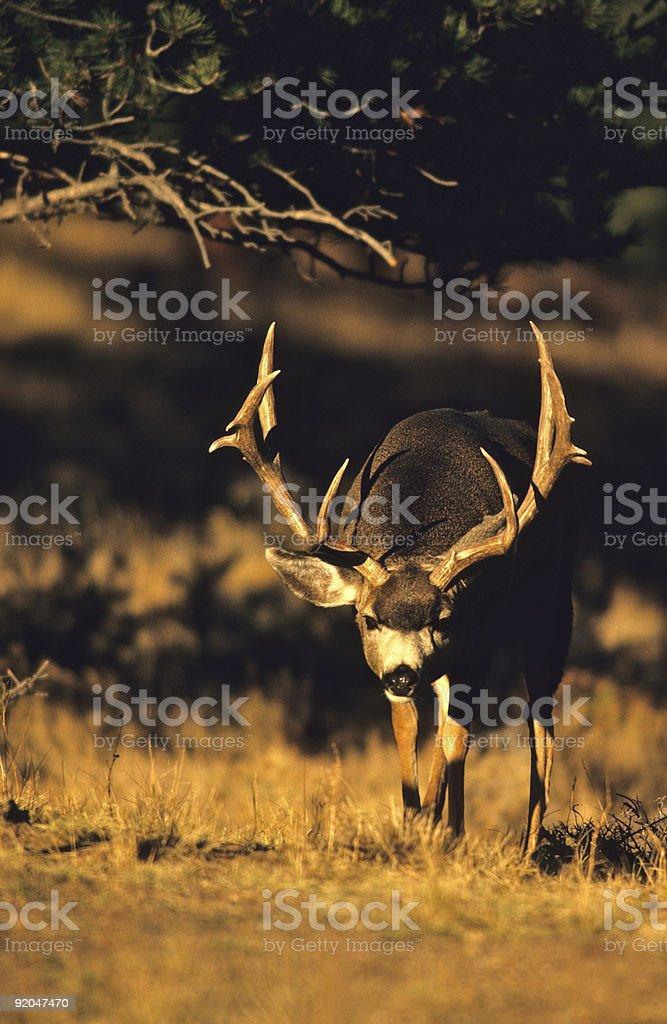 Huge Mule Deer Buck stock photo
