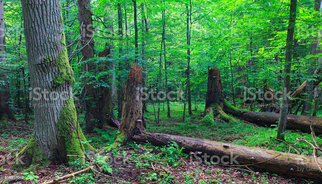 Huge old oak tree moss wrapped stock photo