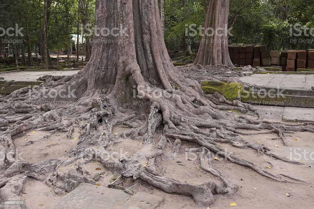 Huge old roots royalty-free stock photo