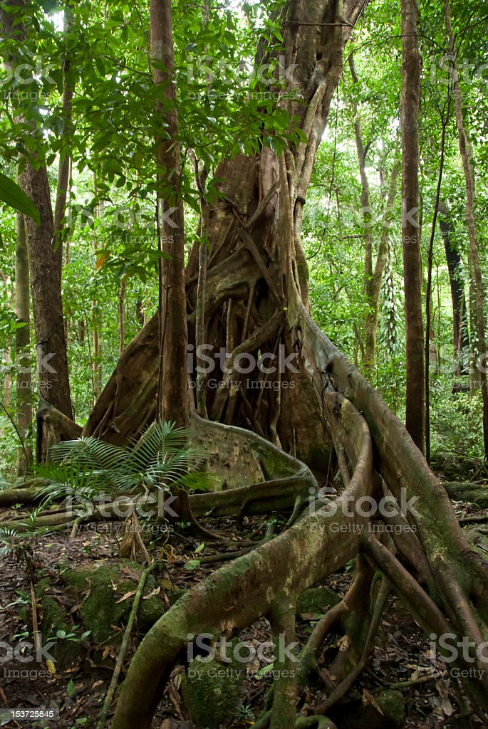Huge Roots Of Rainforest Tree stock photo