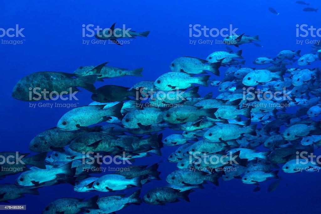 Huge school of fishes in Blue Corner stock photo
