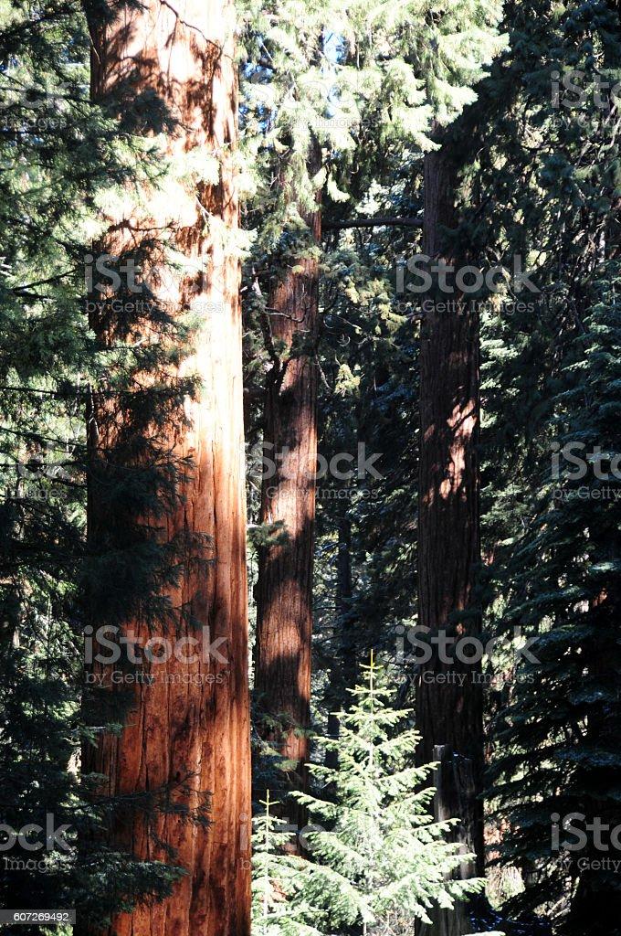 Huge Sequoia Tree stock photo