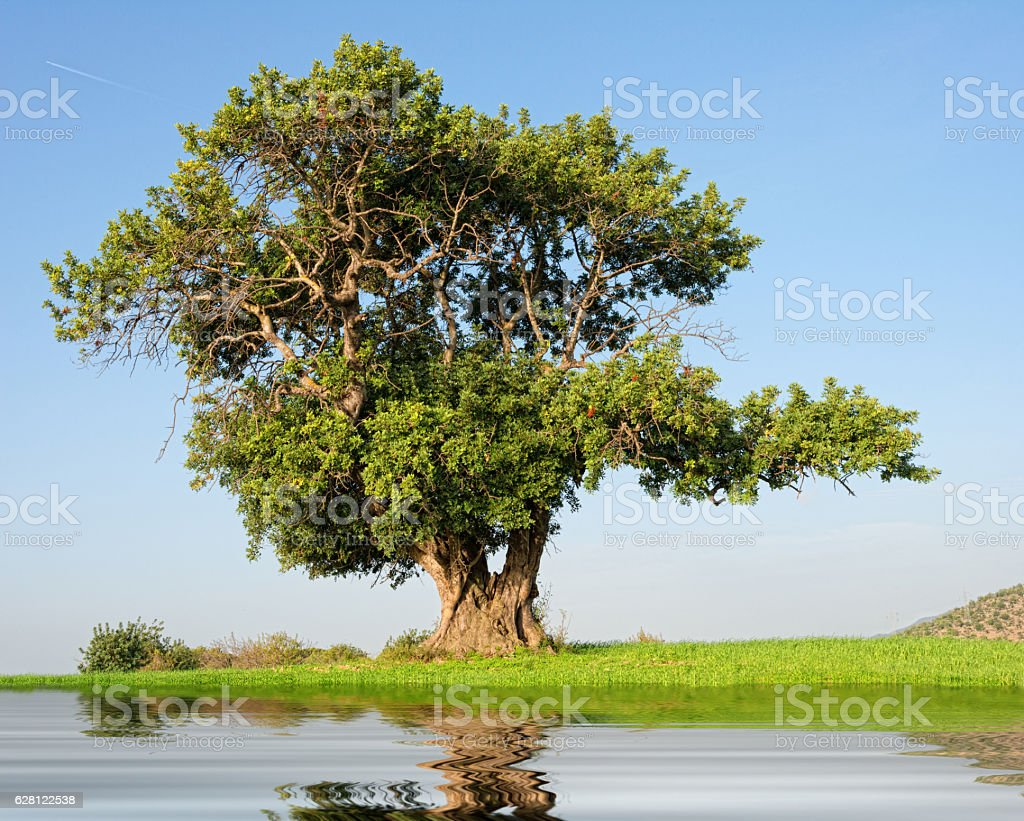 huge single carob tree on a hill - with water stock photo