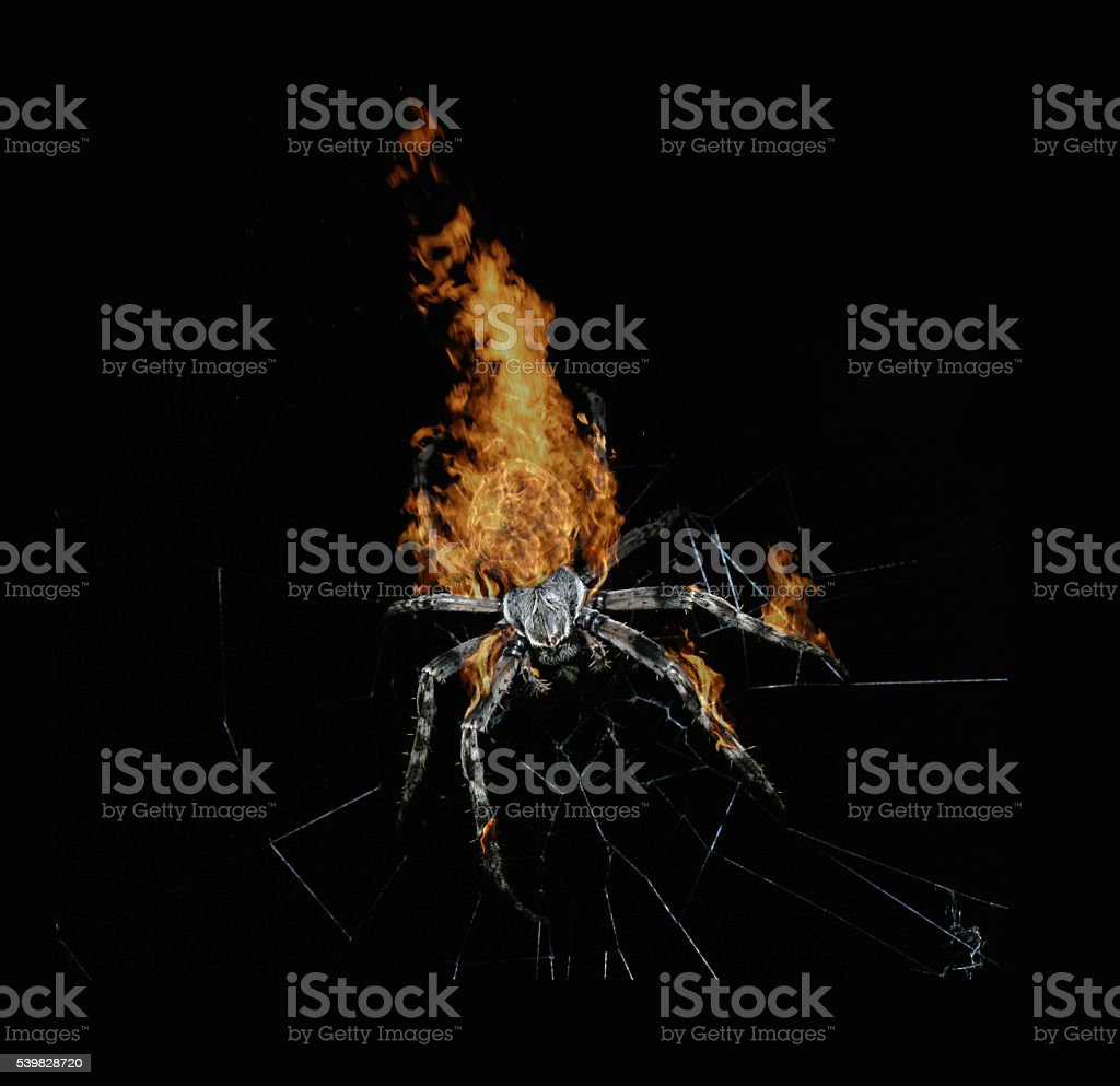 Huge spider on fire isolated on black stock photo