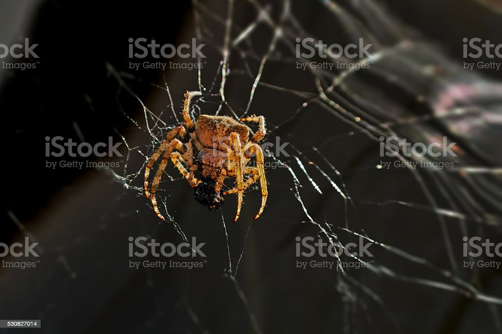 huge spider royalty-free stock photo