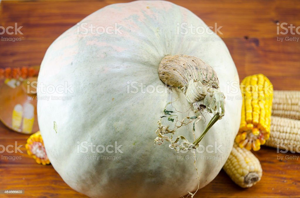 Huge squash and dried corn on a table royalty-free stock photo