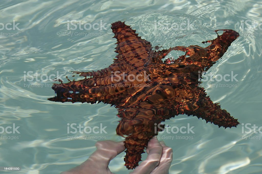 huge starfish royalty-free stock photo