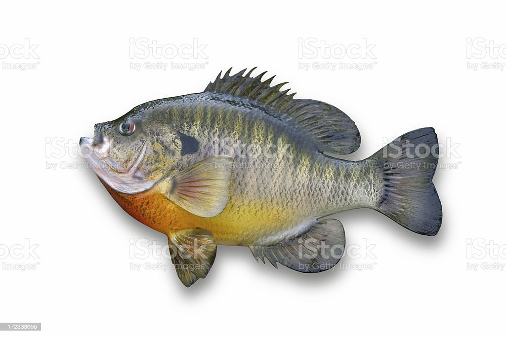 Huge Sunfish Isolated on White stock photo