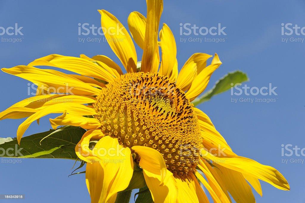 Huge Sunflower stock photo