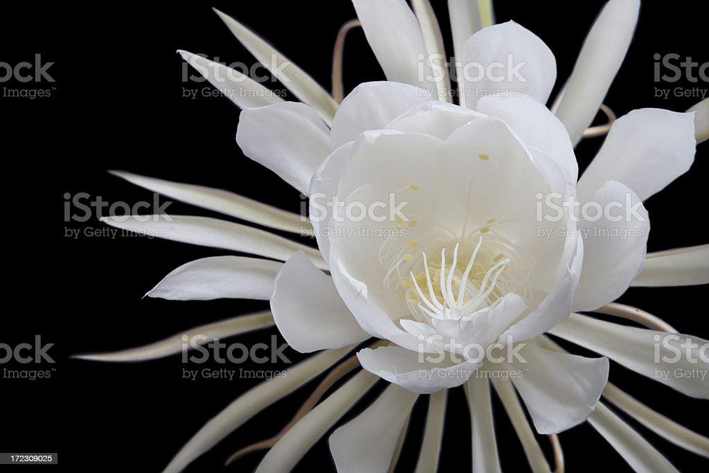 Huge White Night Blooming Cereus (Epiphyllum) Flower against Black royalty-free stock photo