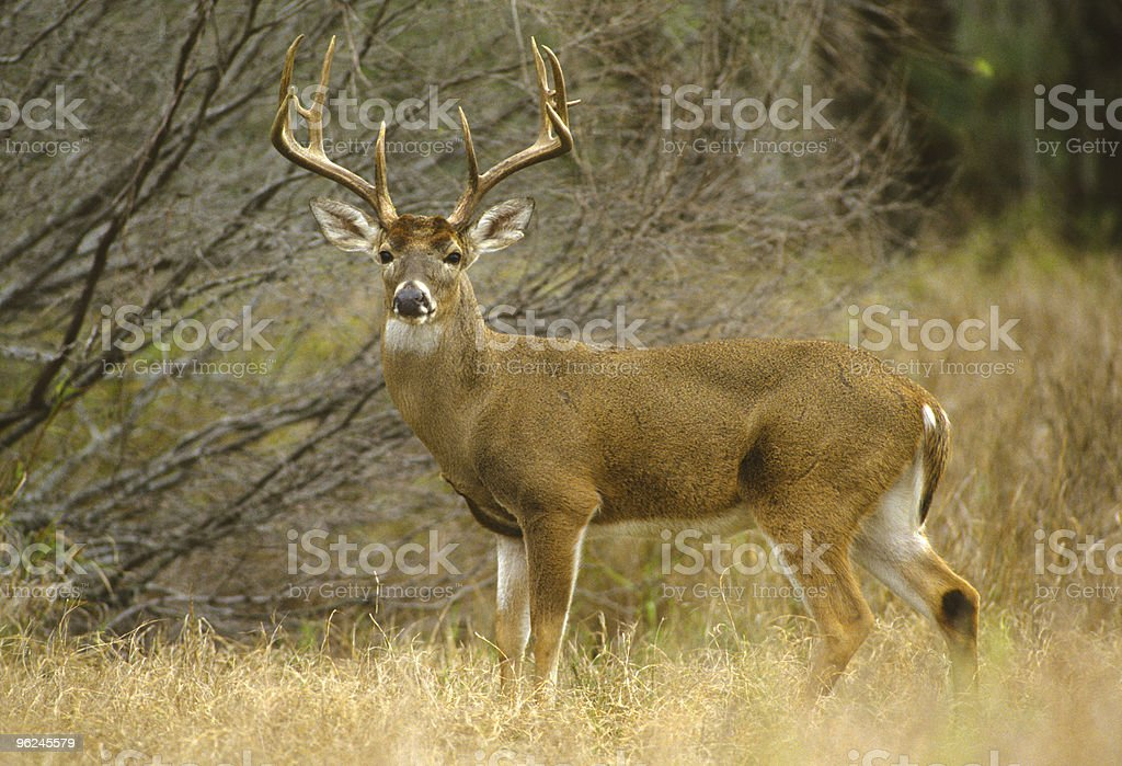 Huge White-tailed Buck stock photo