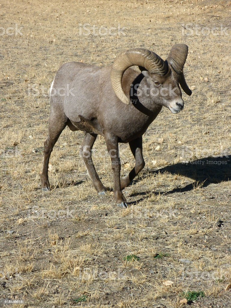 Walking quickly, a wild, bighorn sheep ram with large horns moves...