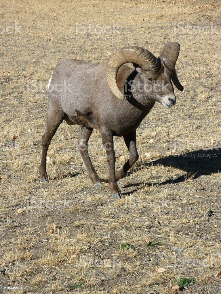 Huge wild bighorn ram walks Waterton Canyon Colorado copy space stock photo