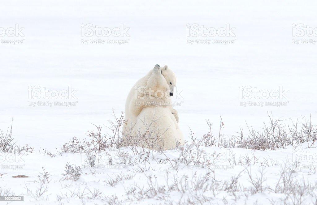 Hugging Polar Bears stock photo
