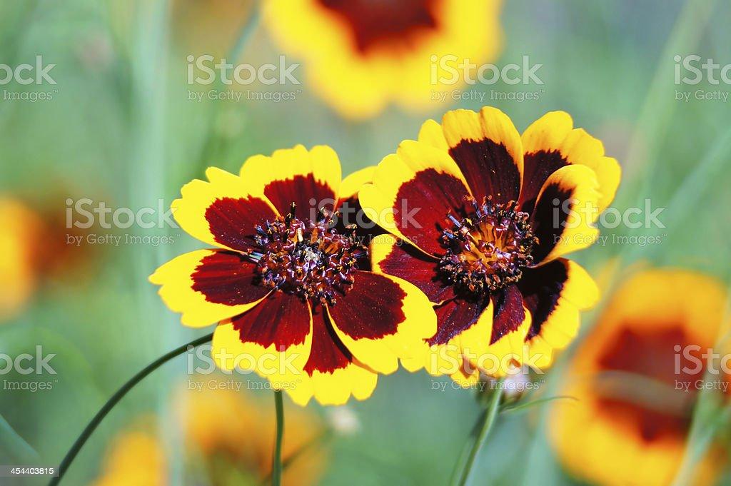 Hugs... coreopsis flowers. royalty-free stock photo