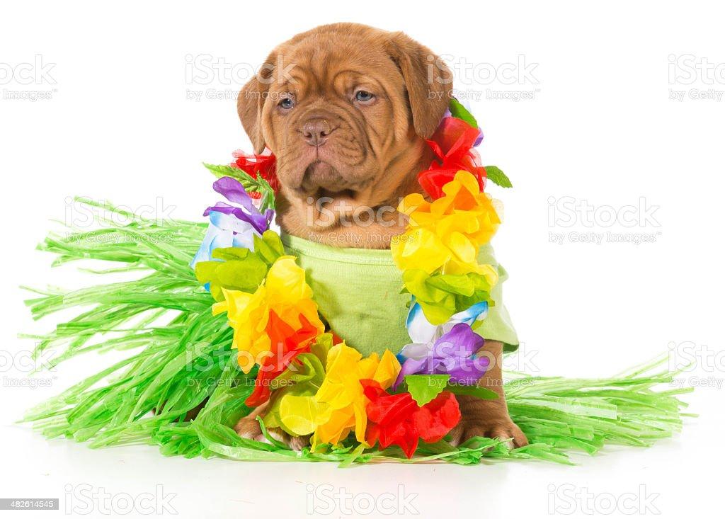 hula dog stock photo