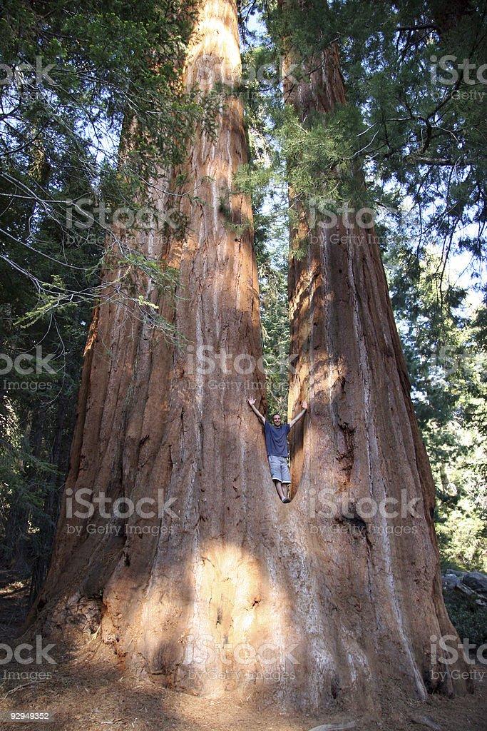 Human against giant Sequoia royalty-free stock photo
