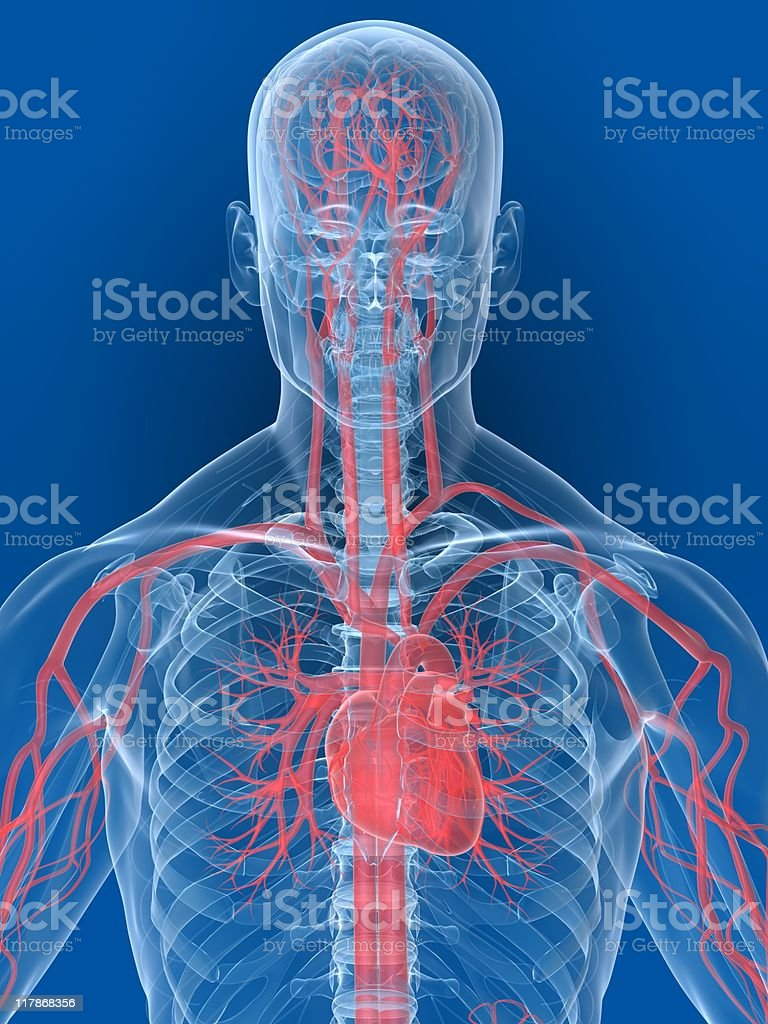 A 3D human age showing the heart and its veins royalty-free stock photo