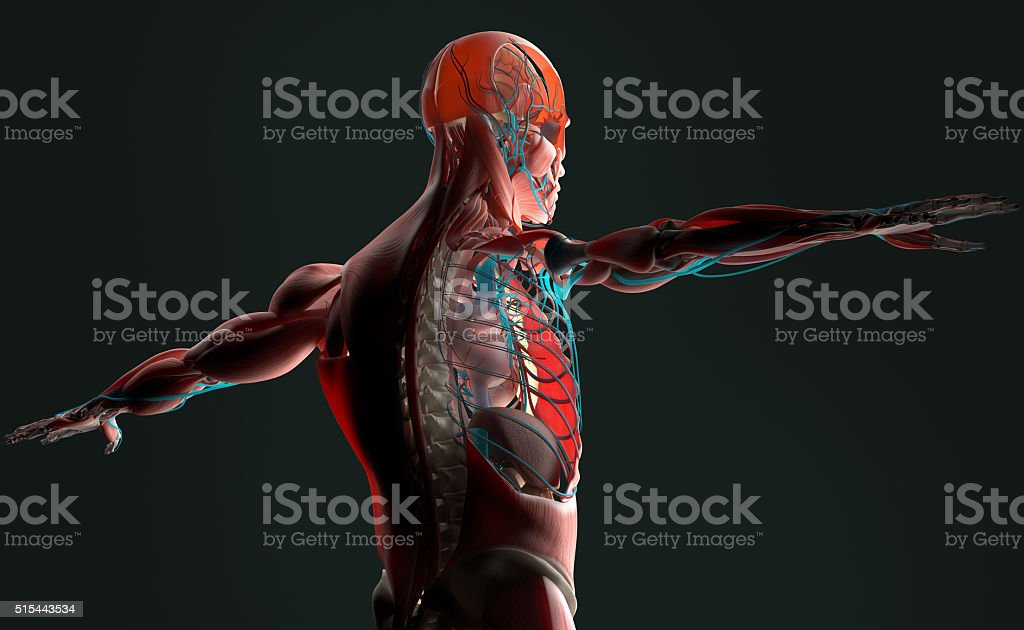 Human anatomy 3D. Male torso showing layers.Back-lit on dark background. stock photo