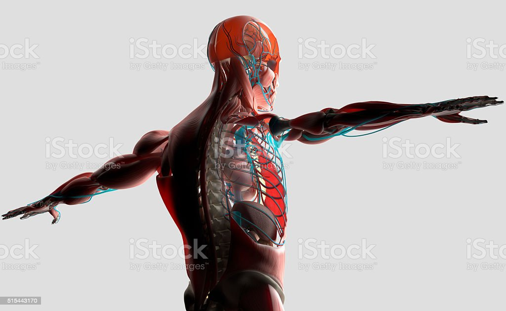 Human anatomy 3D. Male torso showing layers.Back-lit on light background. stock photo